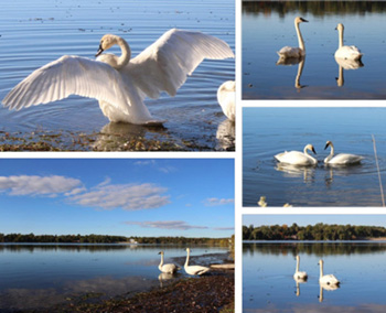 Swans at Musselman's Lake